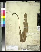 view Elaphoglossum luzonicum Copel. in Elmer digital asset number 1