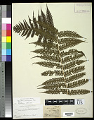 view Pleocnemia cumingiana C. Presl digital asset number 1