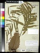 view Drynaria rigidula (Sw.) Bedd. digital asset number 1