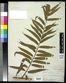 view Cyathea corcovadensis (Raddi) Domin digital asset number 1