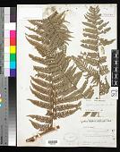 view Cyathea caudiculata (Rosenst.) Domin digital asset number 1