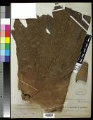 view Platycerium coronarium (K.D. Koenig ex O.F. Müll.) Desv. digital asset number 1