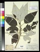 view Maoutia australis Wedd. digital asset number 1