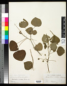view Homalanthus populifolius Graham digital asset number 1