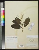 view Ascarina polystachya J.R. Forst. & G. Forst. digital asset number 1