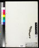 view Lobostemon argenteus Buek digital asset number 1