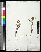 view Corchorus trilocularis L. digital asset number 1