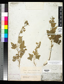 view Tarasa operculata (Cav.) Krapov. digital asset number 1