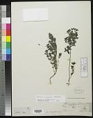 view Urtica echinata Benth. digital asset number 1