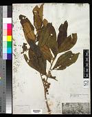 view Henriettea succosa (Aubl.) DC. digital asset number 1