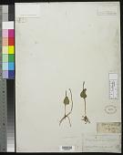 view Ophioglossum vulgatum L. digital asset number 1