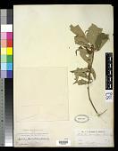 view Mallotus paniculatus (Lam.) Müll. Arg. digital asset number 1