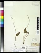 view Ophioglossum reticulatum L. digital asset number 1