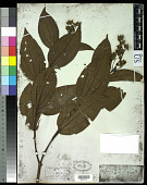 view Miconia staminea DC. digital asset number 1