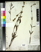 view Tibouchina gracilis (Bonpl.) Cogn. digital asset number 1