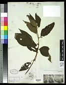 view Ossaea conyertiflora digital asset number 1