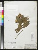 view Dodonaea viscosa var. stokesiana F. Br. digital asset number 1