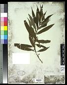 view Ossaea brachystachya Naudin digital asset number 1