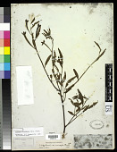 view Ludwigia octovalvis (Jacq.) P.H. Raven digital asset number 1
