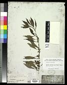 view Ludwigia prostrata Roxb. digital asset number 1