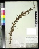 view Epilobium glabellum G. Forst. digital asset number 1