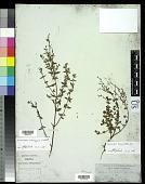 view Angophora bakeri E.C. Hall subsp. bakeri digital asset number 1