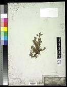 view Corchorus antichorus Raeusch. digital asset number 1