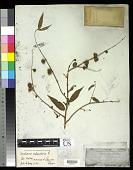 view Corchorus capsularis L. digital asset number 1