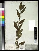view Corchorus olitorius L. digital asset number 1