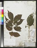 view Grewia crenata (J.R. Forst. & G. Forst.) Schinz & Guillaumin digital asset number 1