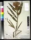 view Hibiscus heterophyllus digital asset number 1