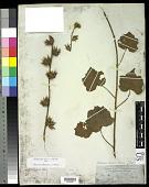 view Hibiscus fijiensis F.D. Wilson digital asset number 1