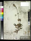view Barleria prionitis L. digital asset number 1