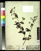 view Varronia polycephala Lam. digital asset number 1