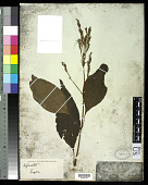 view Hypoestes purpurea R. Br. digital asset number 1
