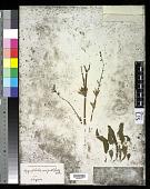 view Hygrophila salicifolia (Vahl) Nees digital asset number 1