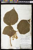 view Cyrtandra cordifolia Gaudich. digital asset number 1