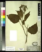 view Clerodendron villosum Blume digital asset number 1