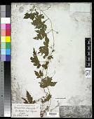 view Momordica charantia L. digital asset number 1