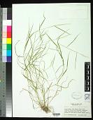 view Agrostis perennans (Walter) Tuck. digital asset number 1