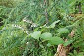 view Maianthemum henryi (Baker) LaFrankie digital asset number 1