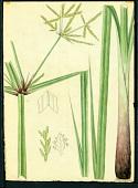 view Cyperus imbricatus Retz. digital asset number 1