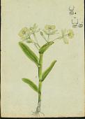 view Epidendrum boricuarum Hágsater & L. Sánchez digital asset number 1