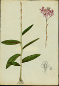 view Epidendrum ackermanii Hágsater digital asset number 1