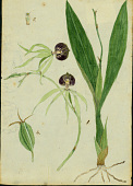 view Prosthechea cochleata (L.) W.E. Higgins digital asset number 1