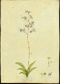 view Tolumnia variegata (Sw.) Braem digital asset number 1