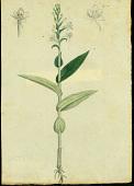 view Habenaria monorrhiza (Sw.) Rchb. f. digital asset number 1