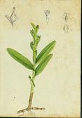 view Epidendrum rigidum Jacq. digital asset number 1
