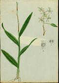view Epidendrum boricuomutelianum Hágsater & L. Sánchez digital asset number 1