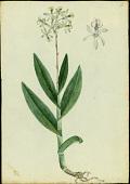view Epidendrum anceps Jacq. digital asset number 1